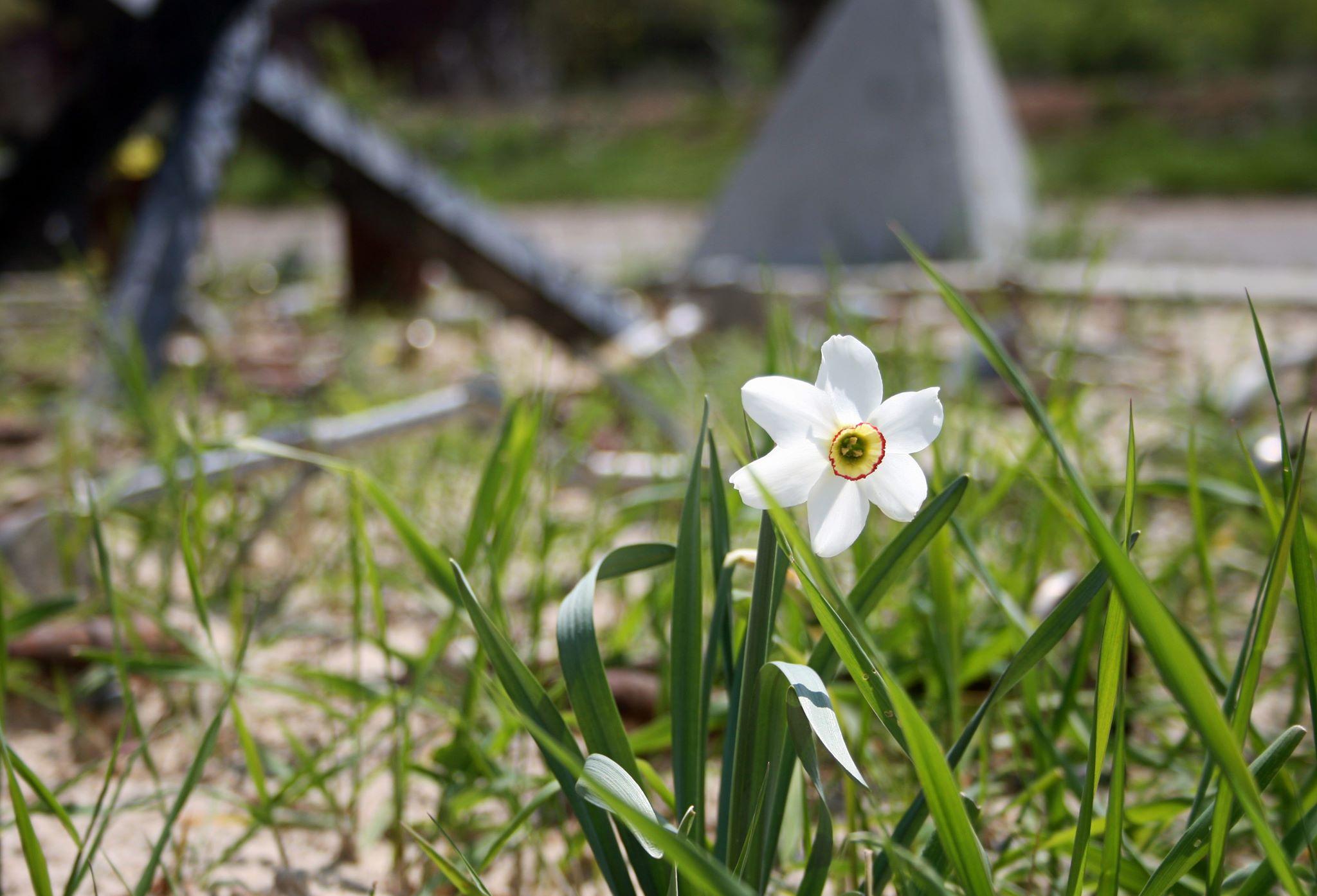 Квітка  нарцису на Меморіалі