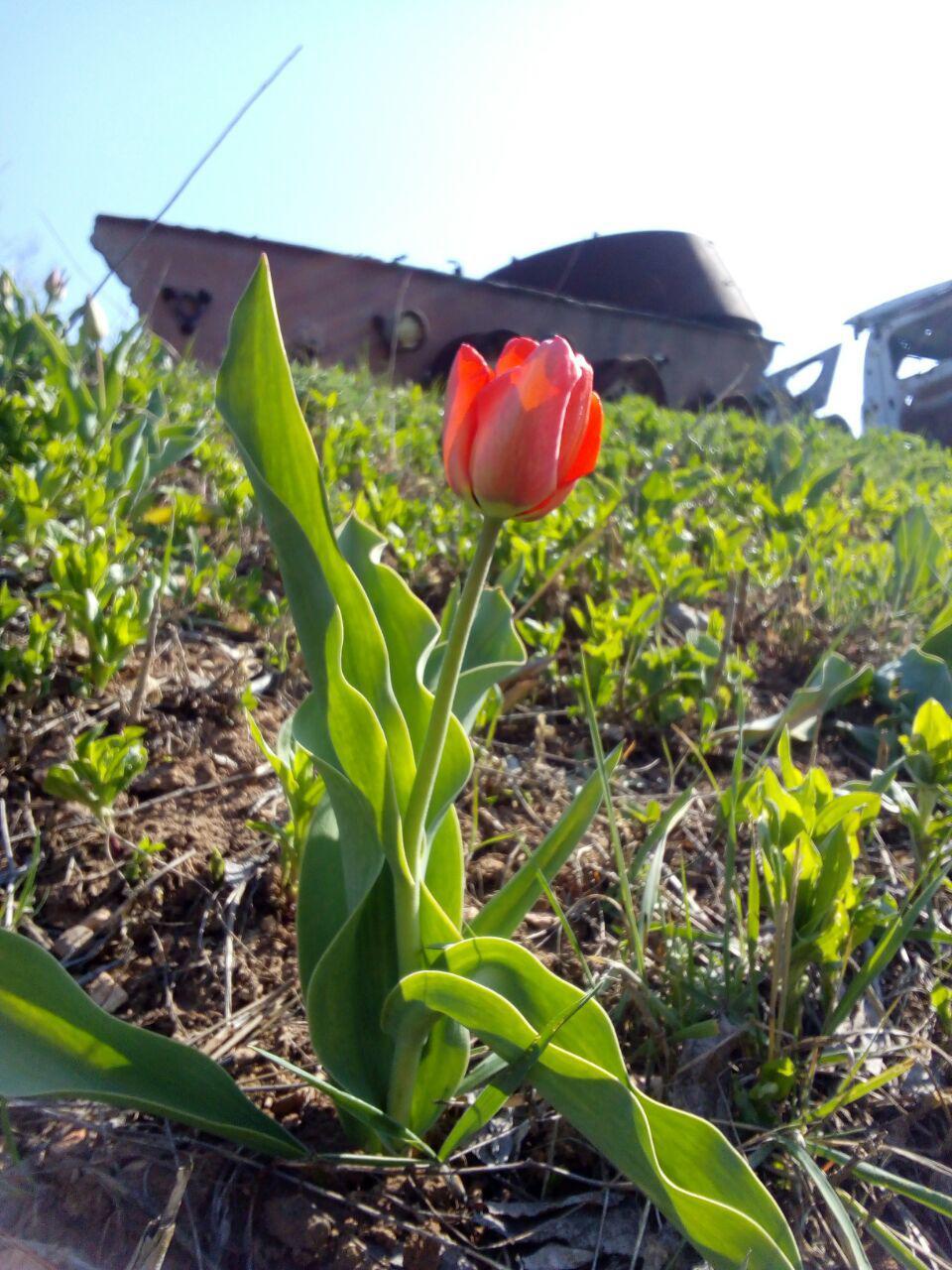 На схилах комплексу розквітнув перший тюльпан